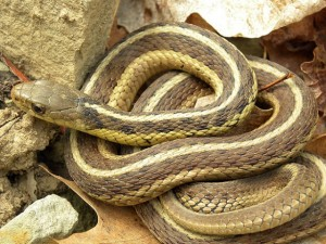 Common Garter Snake found in Framingham, MA (USA)