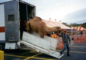 Worker unloads camel for traveling zoo in Framingham, MA