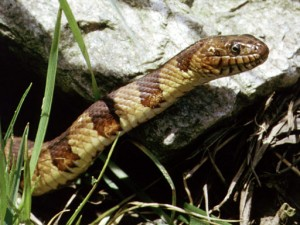 photo of Northern Water Snake (Nerodia Sipedon)