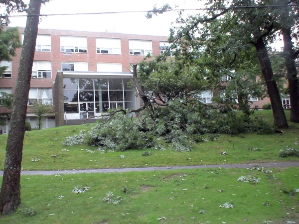 Photo - Tree top downed by Hurricane Irene at Framingham State University's Hemenway Hall  (August 28, 2011)