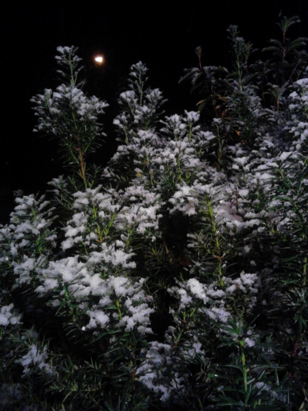Snow on shrubbery, an unusual sight for October in Framingham.